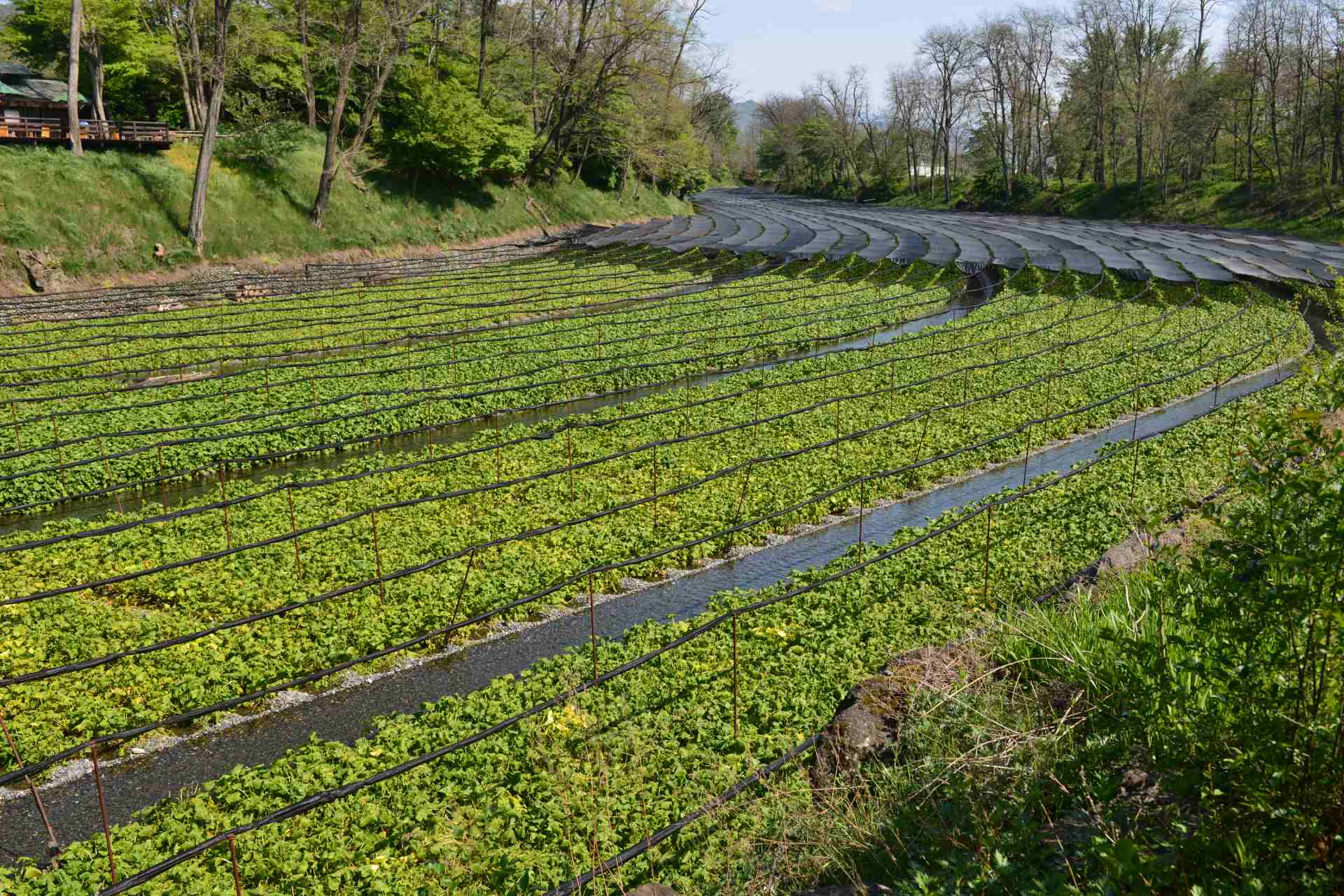 wasabi cultivation ©iStock
