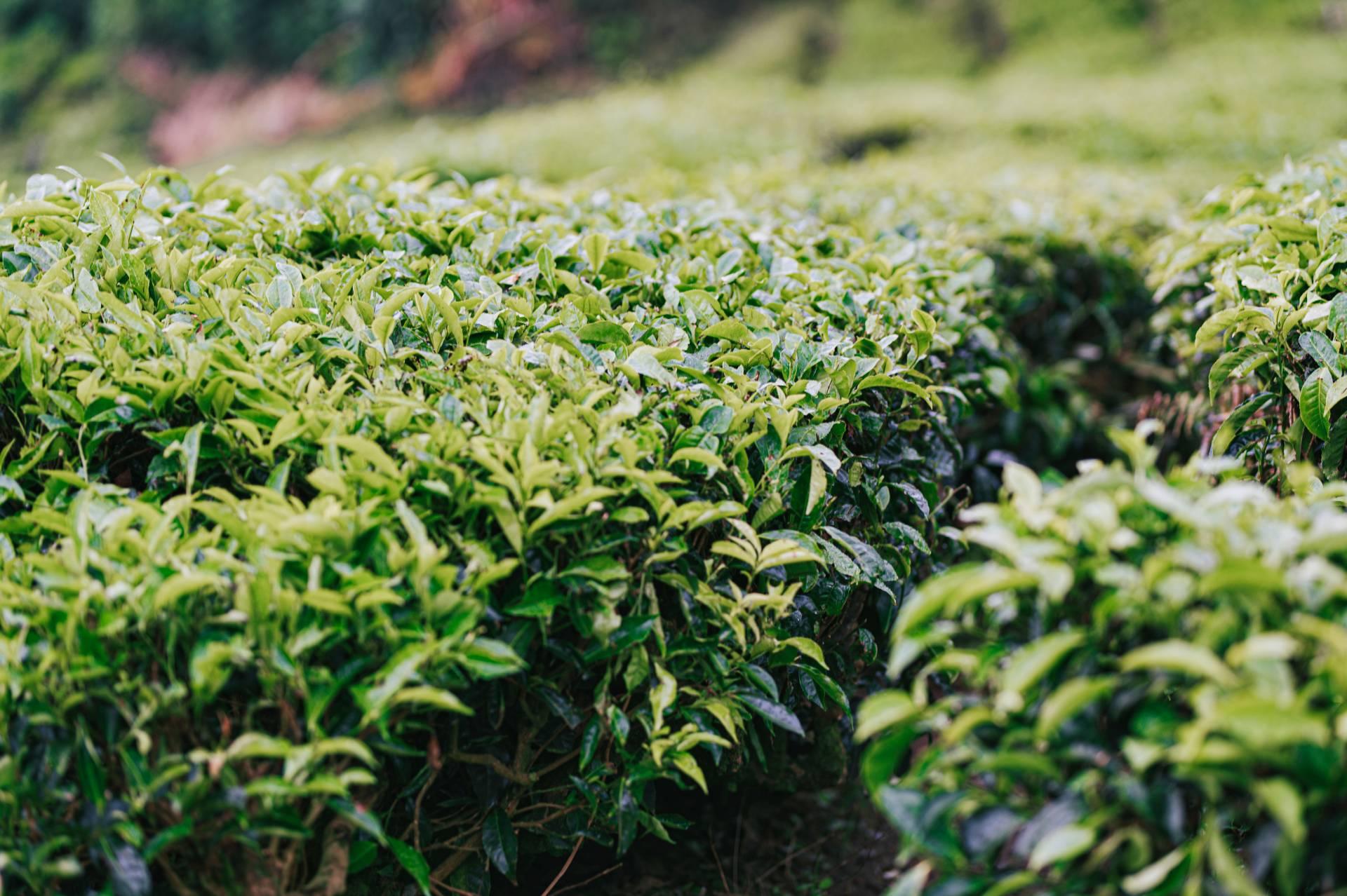 plantation thé vert