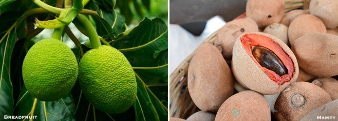 Caribbean Products | Breadfruit, Mamey