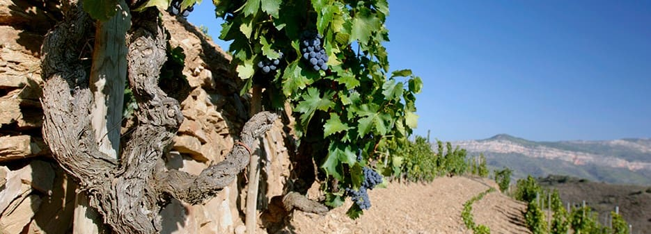 Grenache Vineyard in Spain