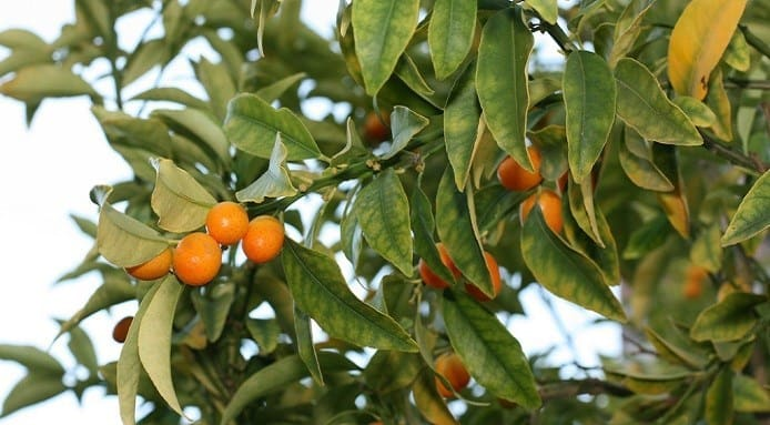 How to Eat Kumquats_2