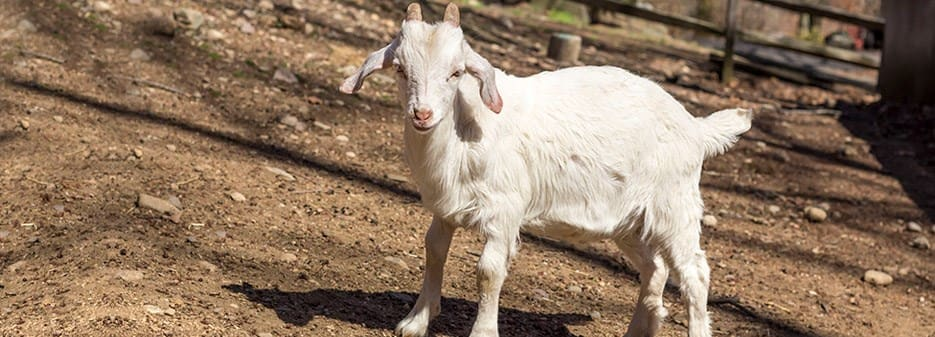 Goat Milk: 26 Nutritional Facts and Things to Know