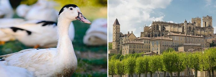 Moulard duck | Gascony