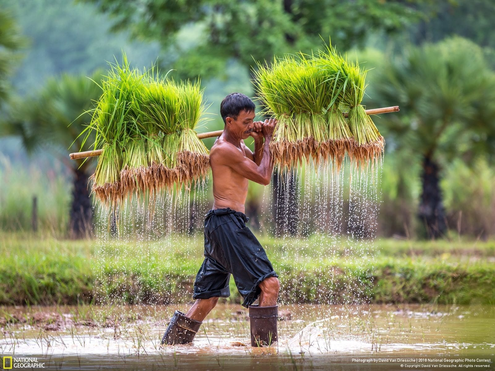 National Geographic Photo Contest 2018 | Replanting Rice in Isaan