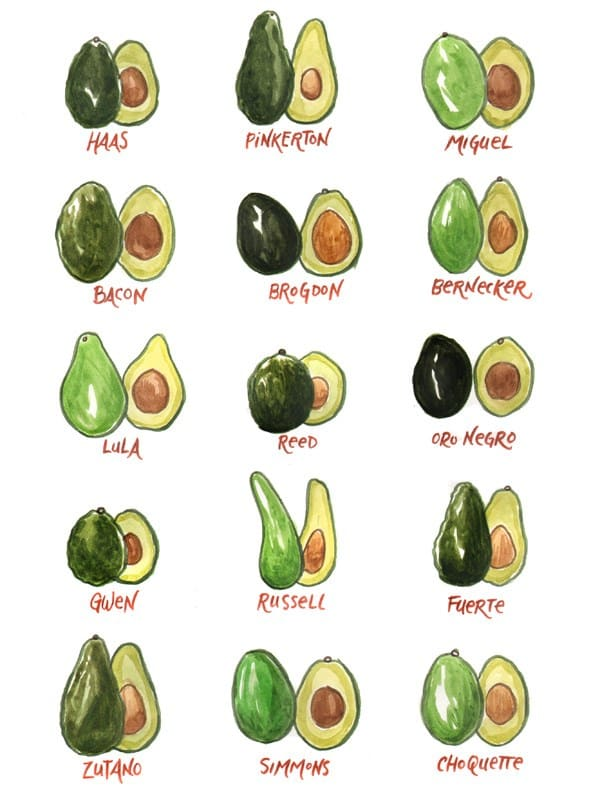 original_avocado-varieta.jpg