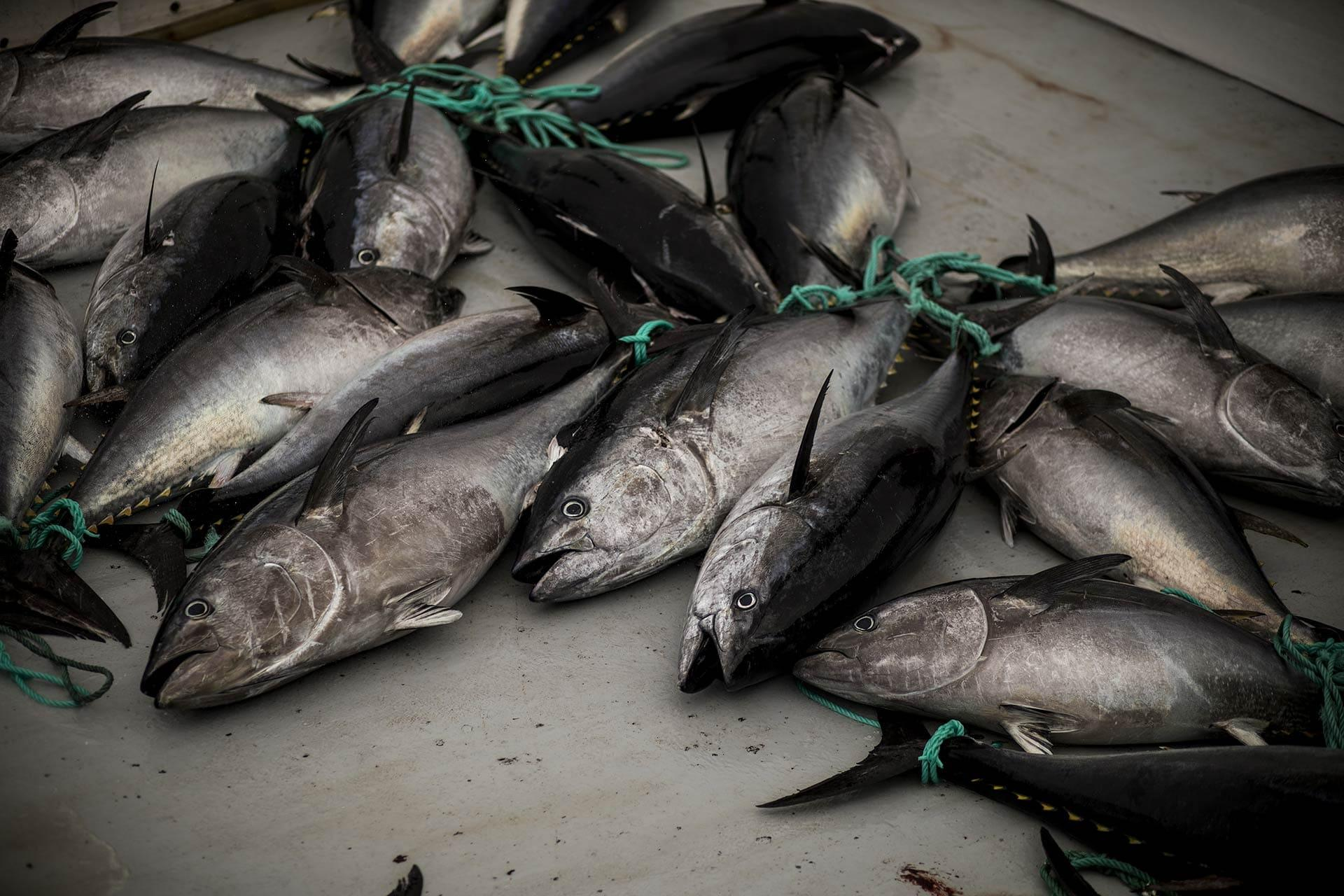 Tuna fishes laying on a boat
