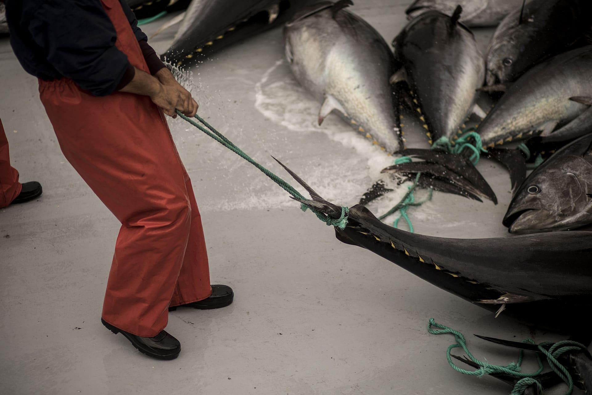 Fisherman moving a tuna