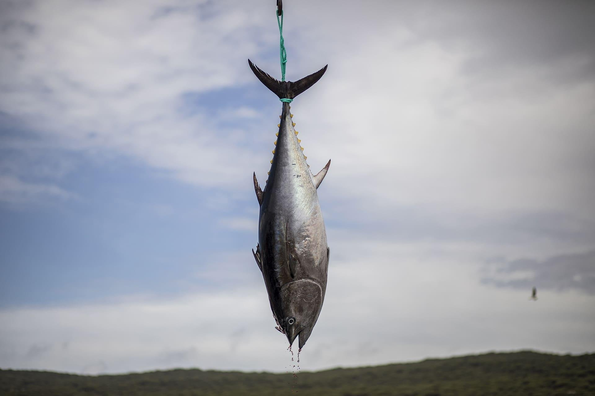 bluefin tuna hanging