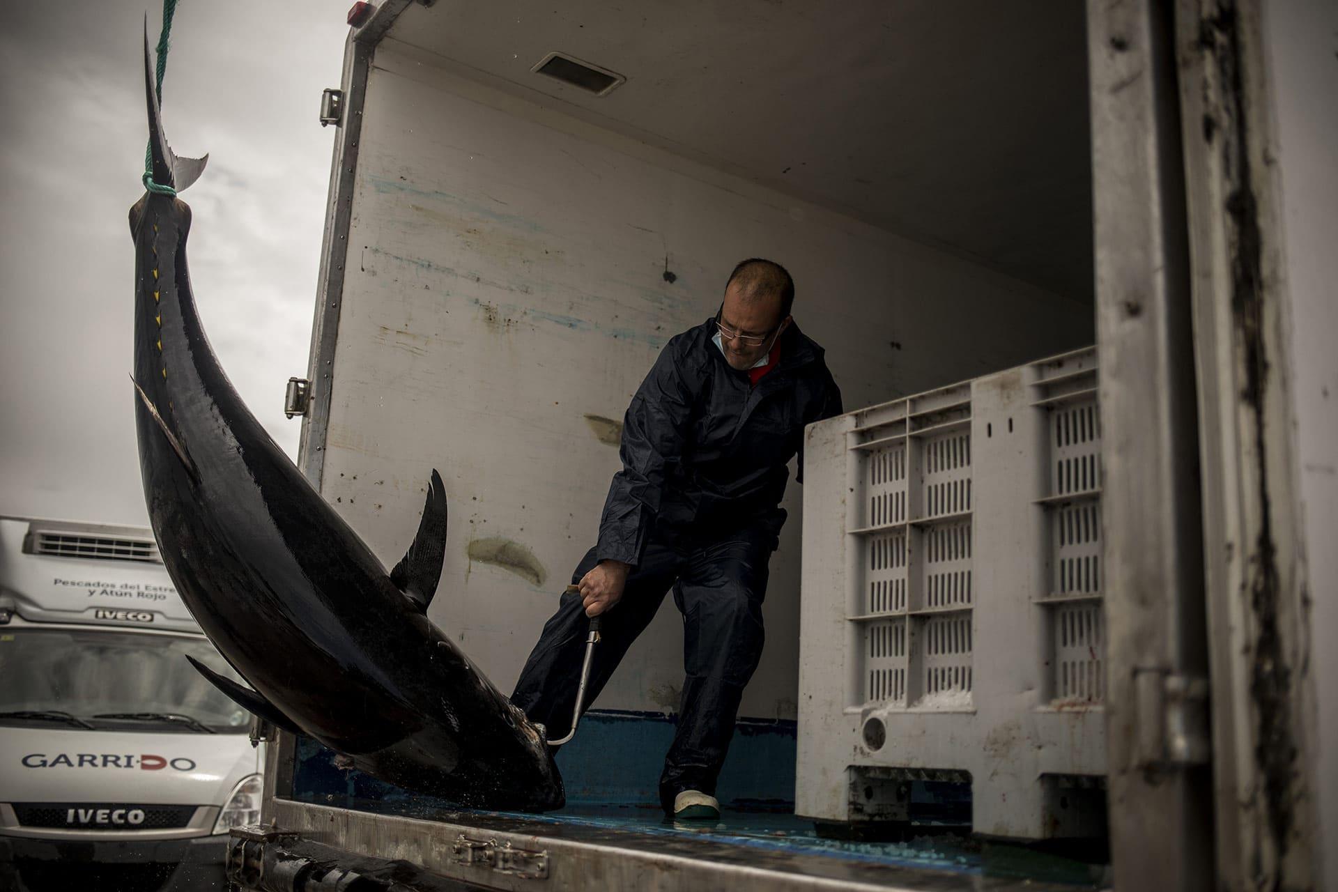 Fisherman loading a tuna on a truck
