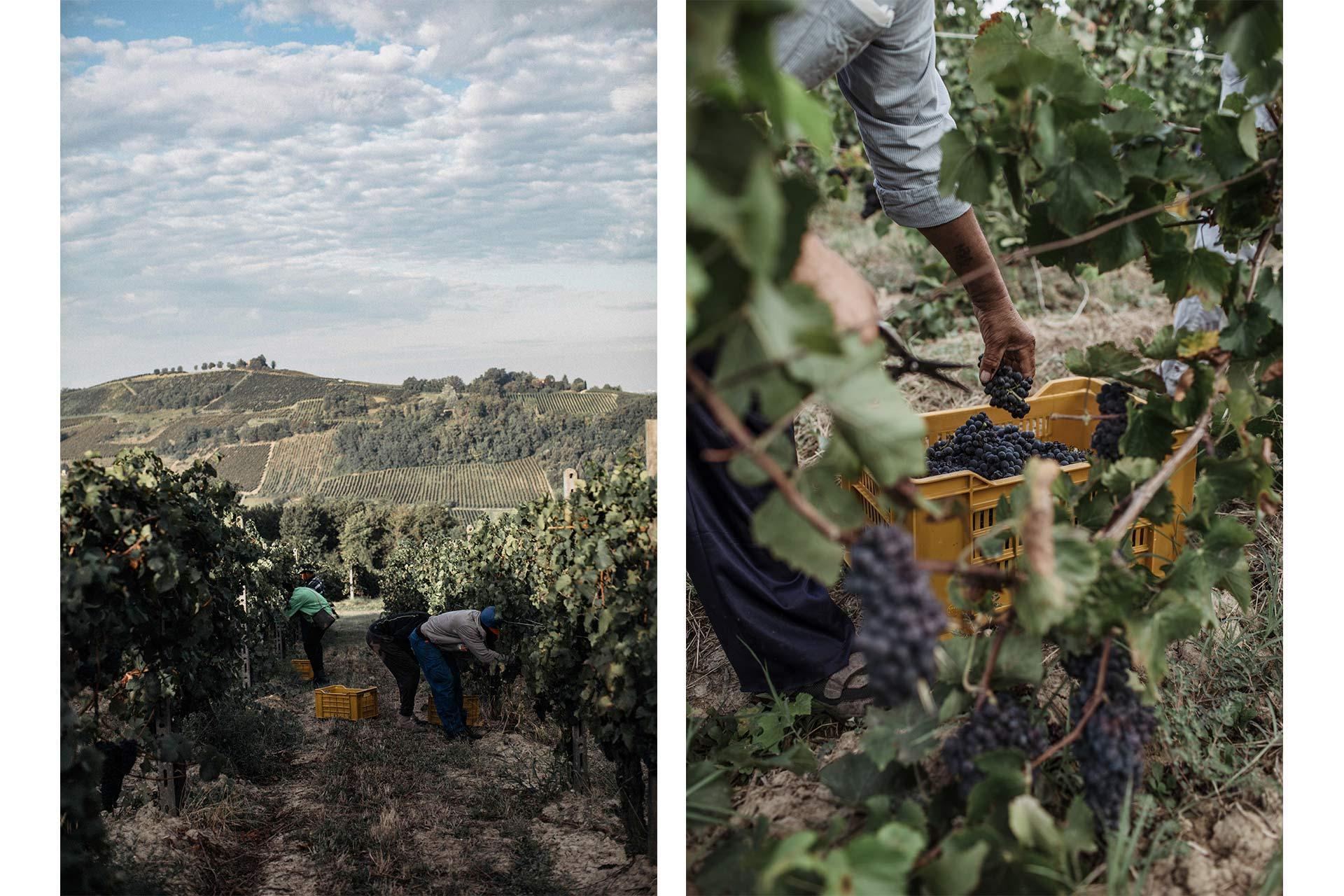 Wine Harvesting in vineyard