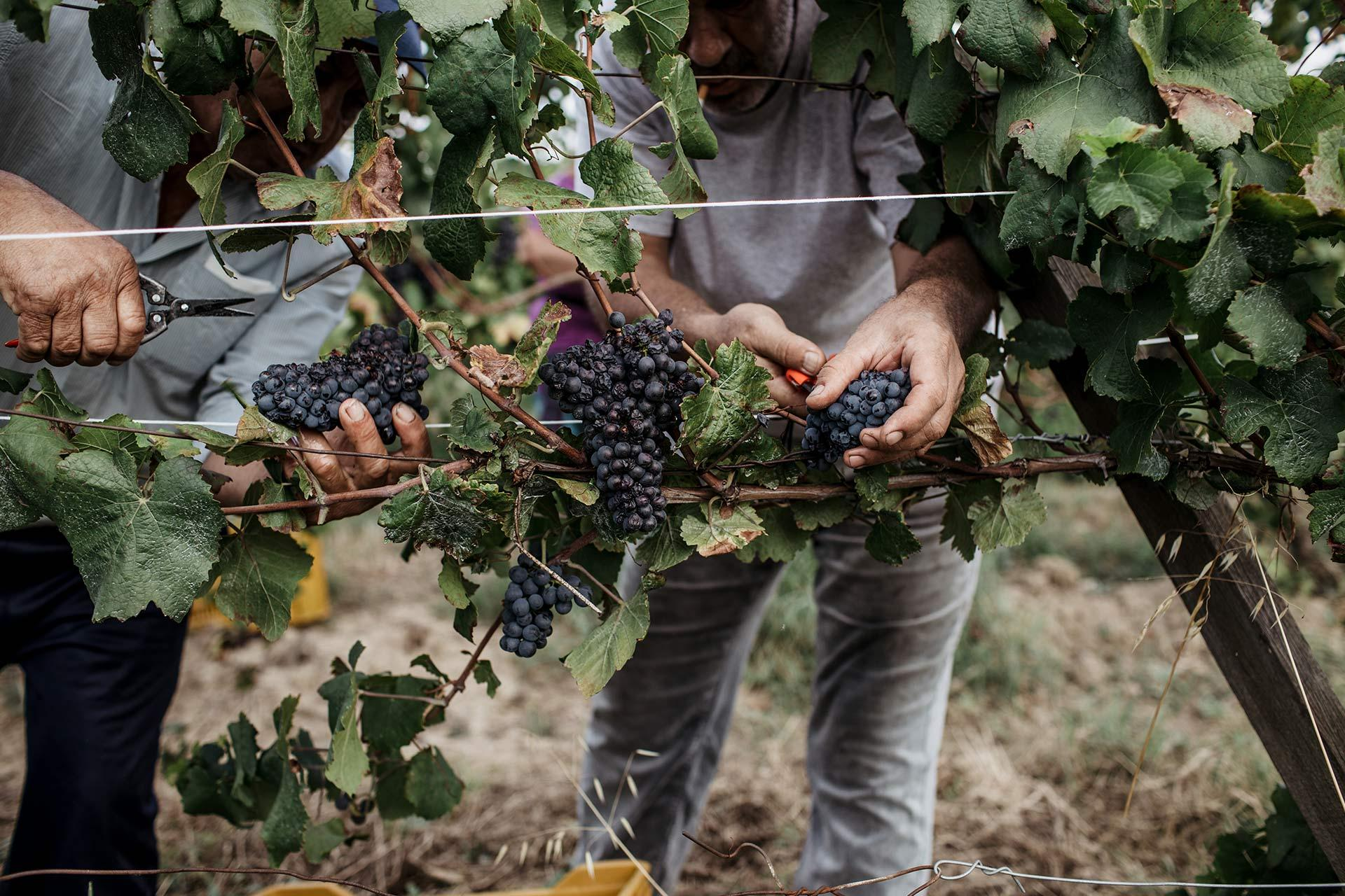 People collecting grapes