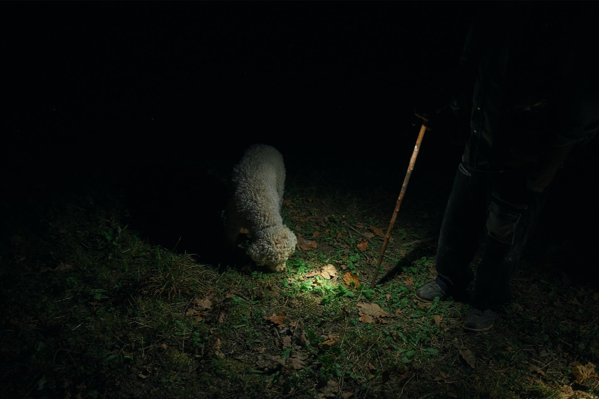 Dog looking for truffle in the dark