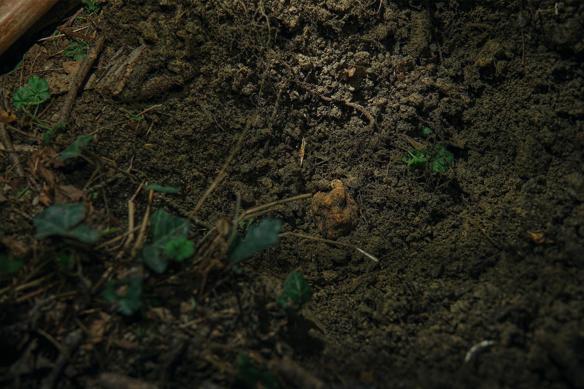 a truffle hidden in the soil