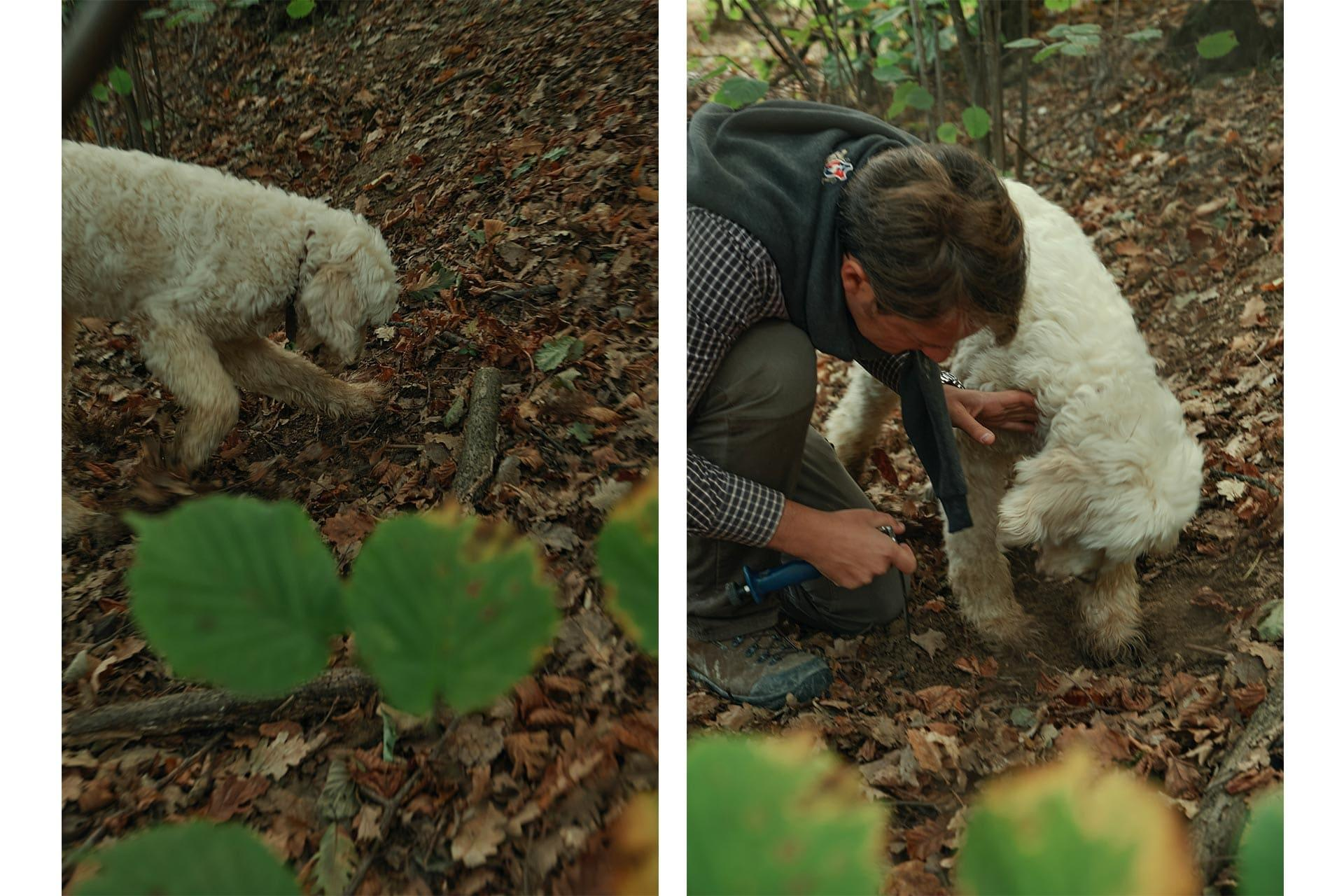 a dog digging and finding a truffle