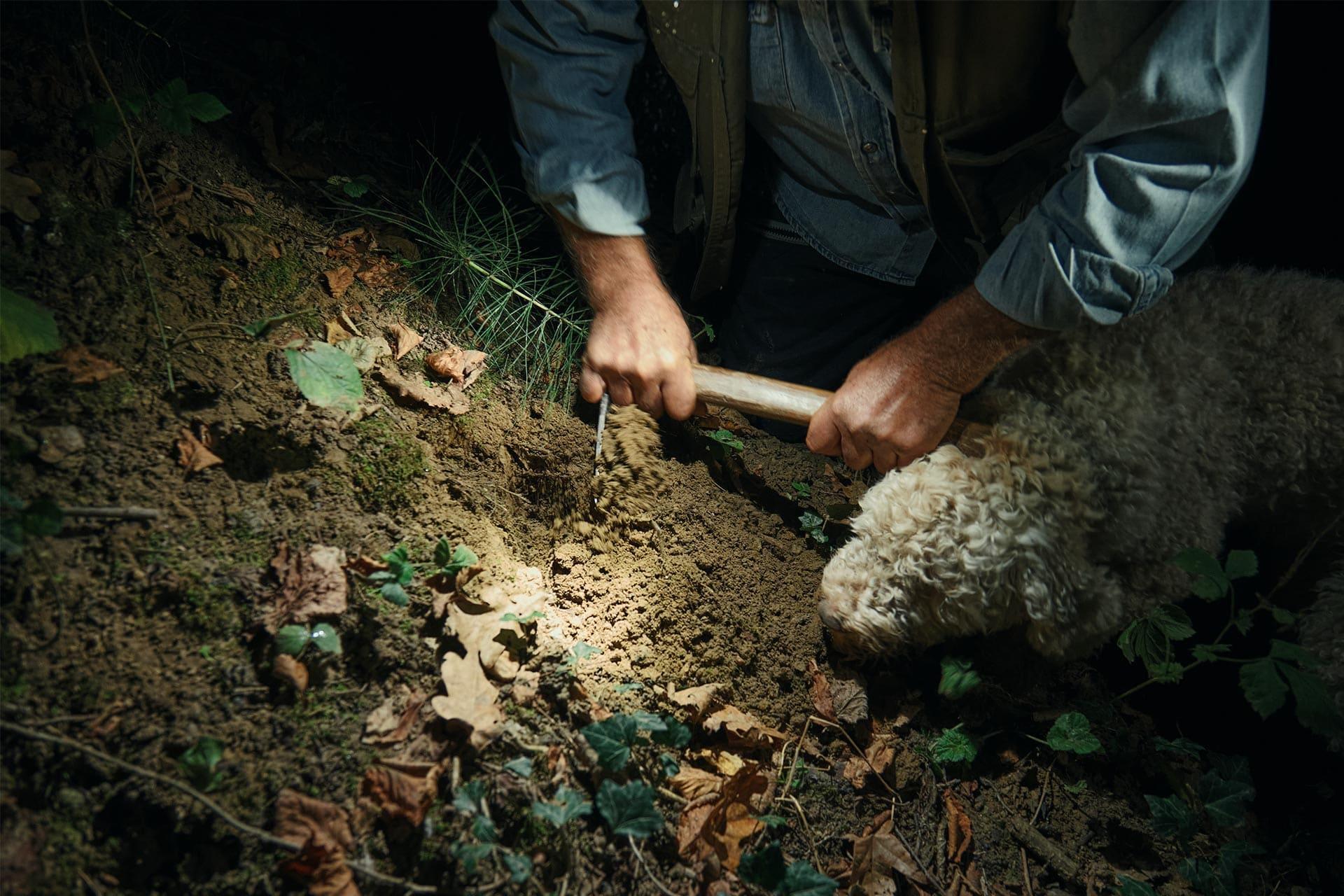 Truffle hunter digging in the soil