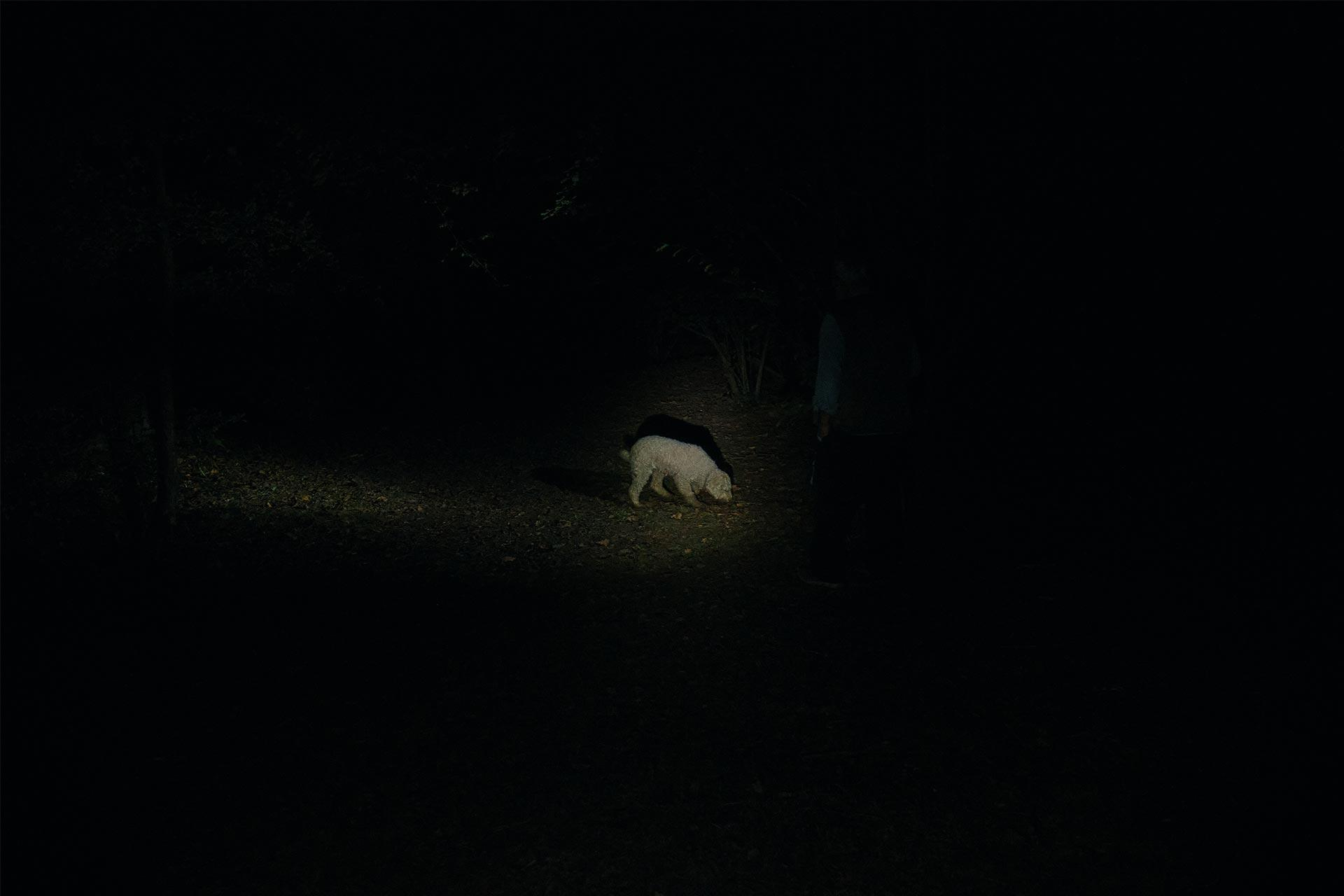 Dog searching for truffle in the dark