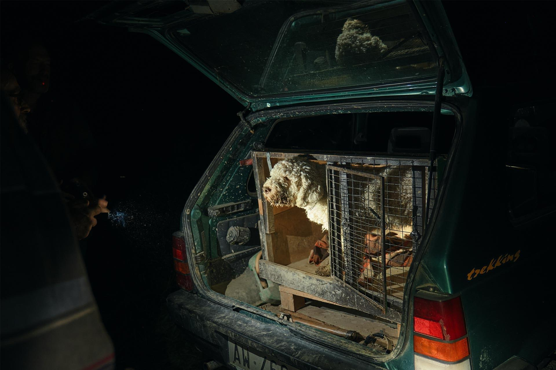 A dog in the car of a truffle hunter