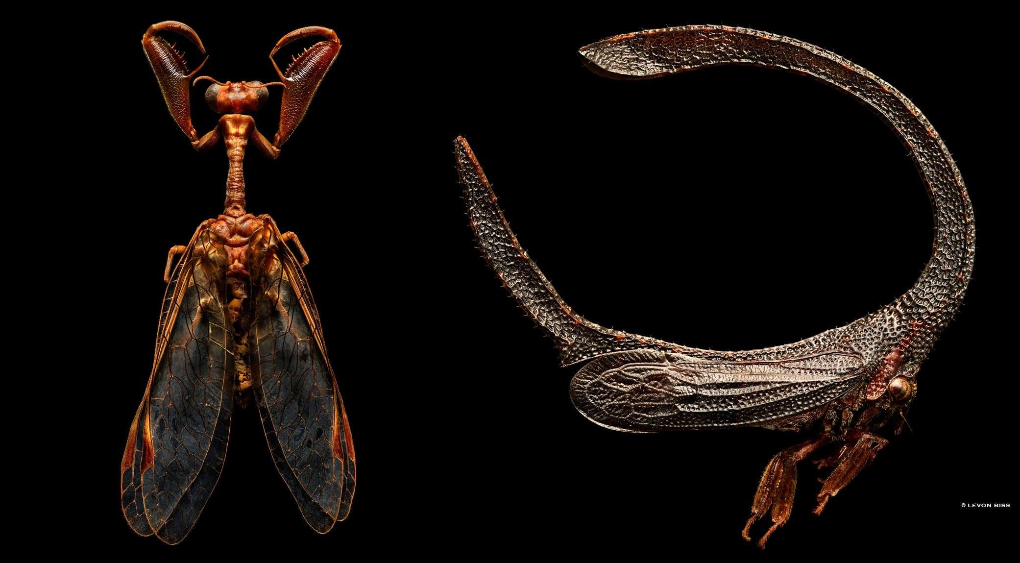 Mantis Fly | Branched Backed Treehopper