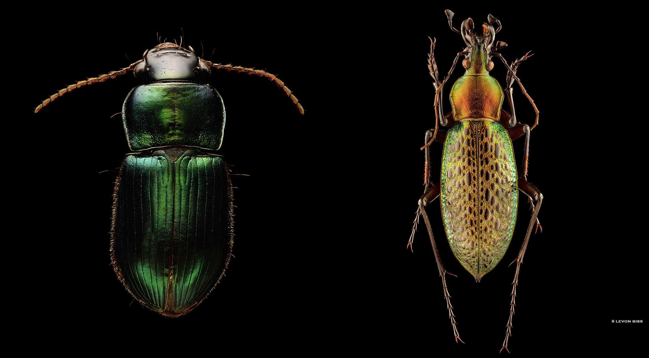 Ground Beetle | Chinese Ground Beetle