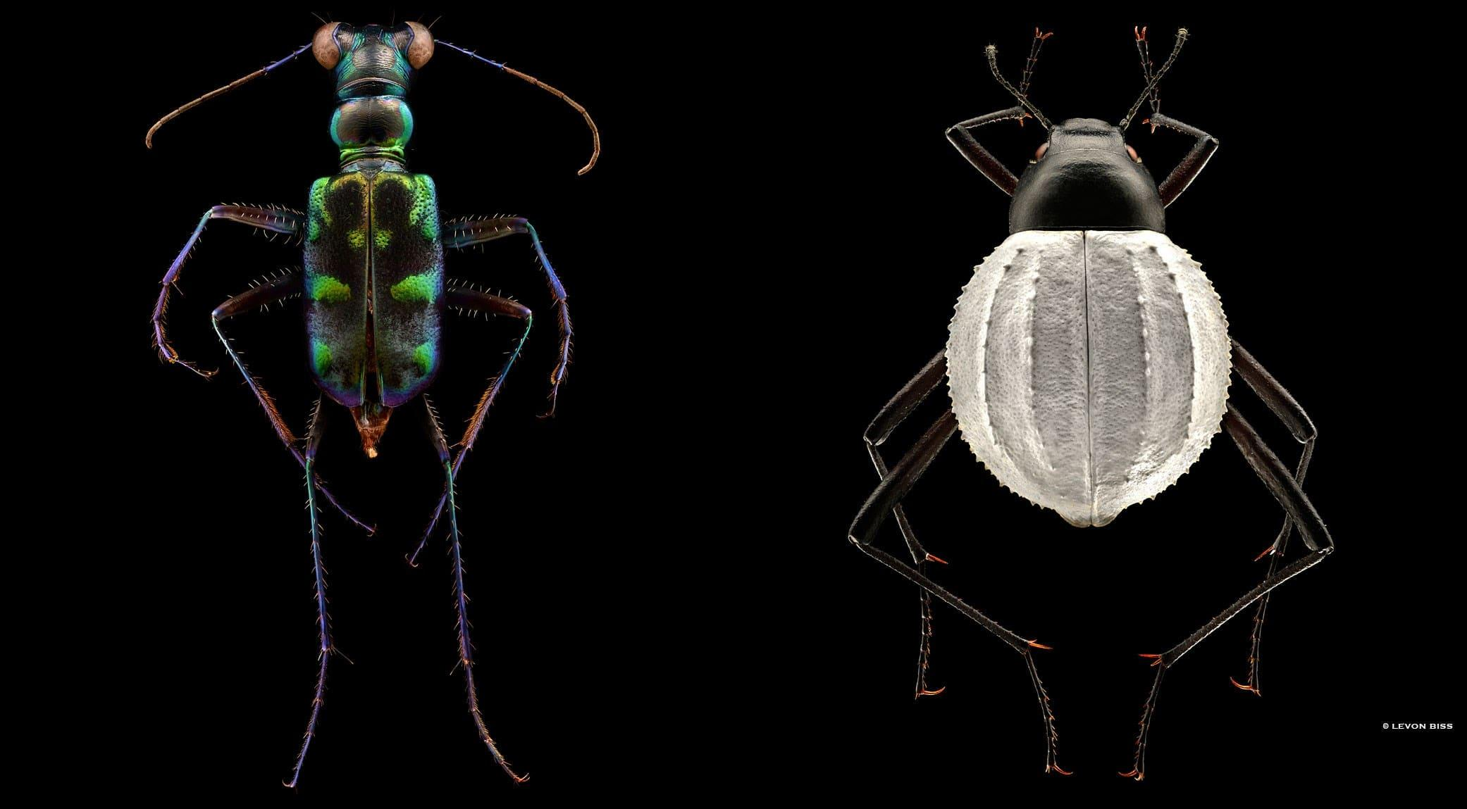Tiger Beetle | Darkling Beetle