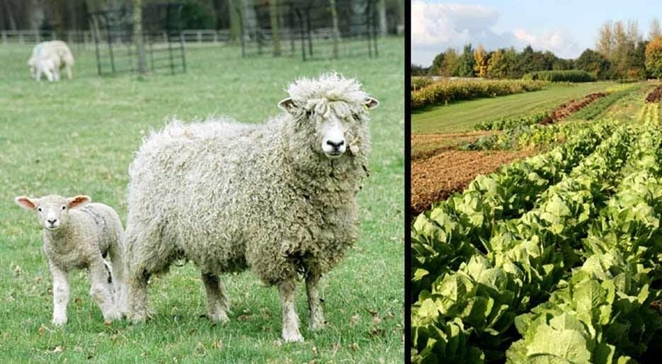 original_FDL-00X-GP10-sheep-lettuce.jpg