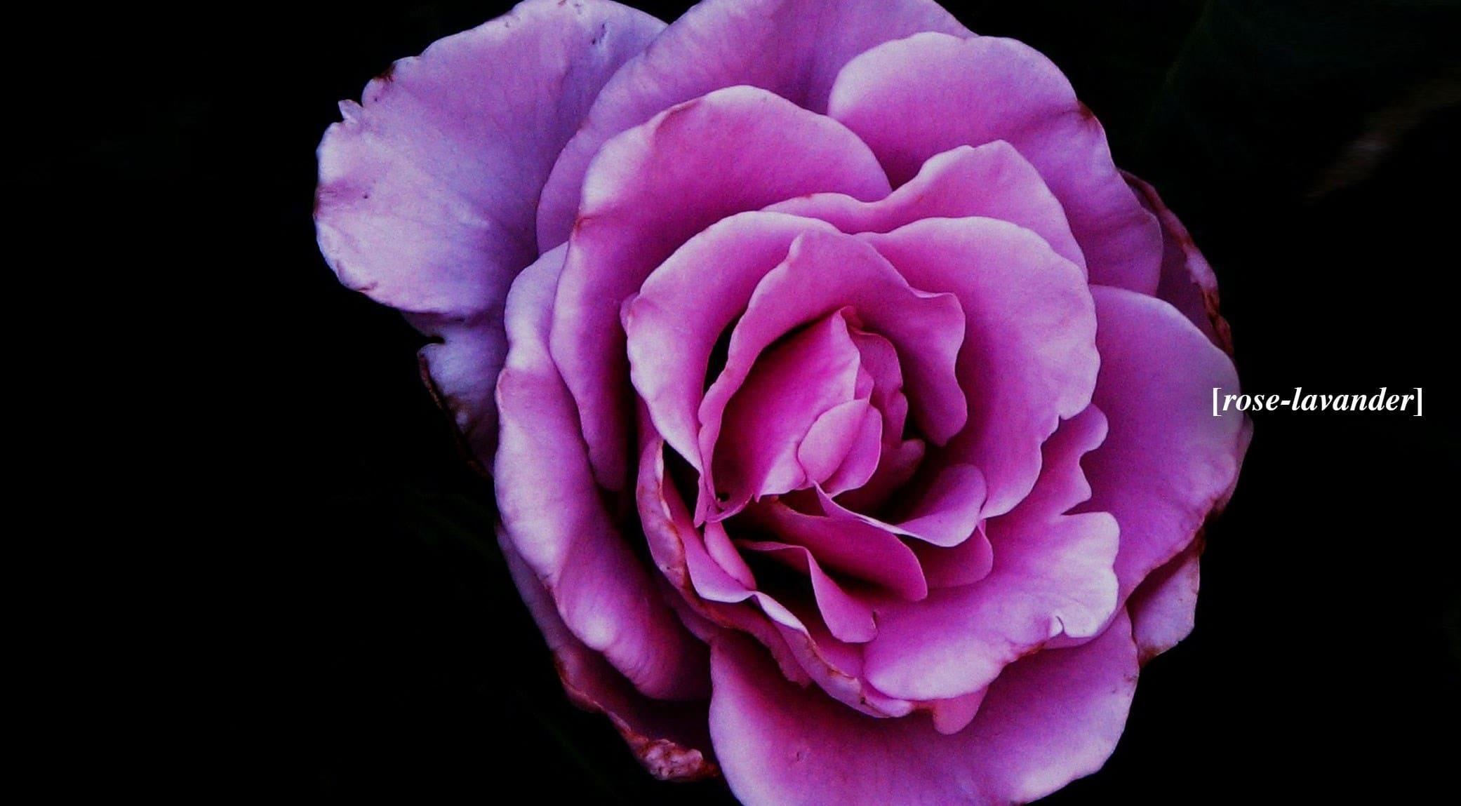 original_rose-lavander.jpg