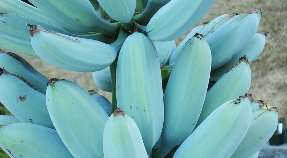 Blue Java Banana, The Smooth Banana That Tastes Like Vanilla Ice Cream